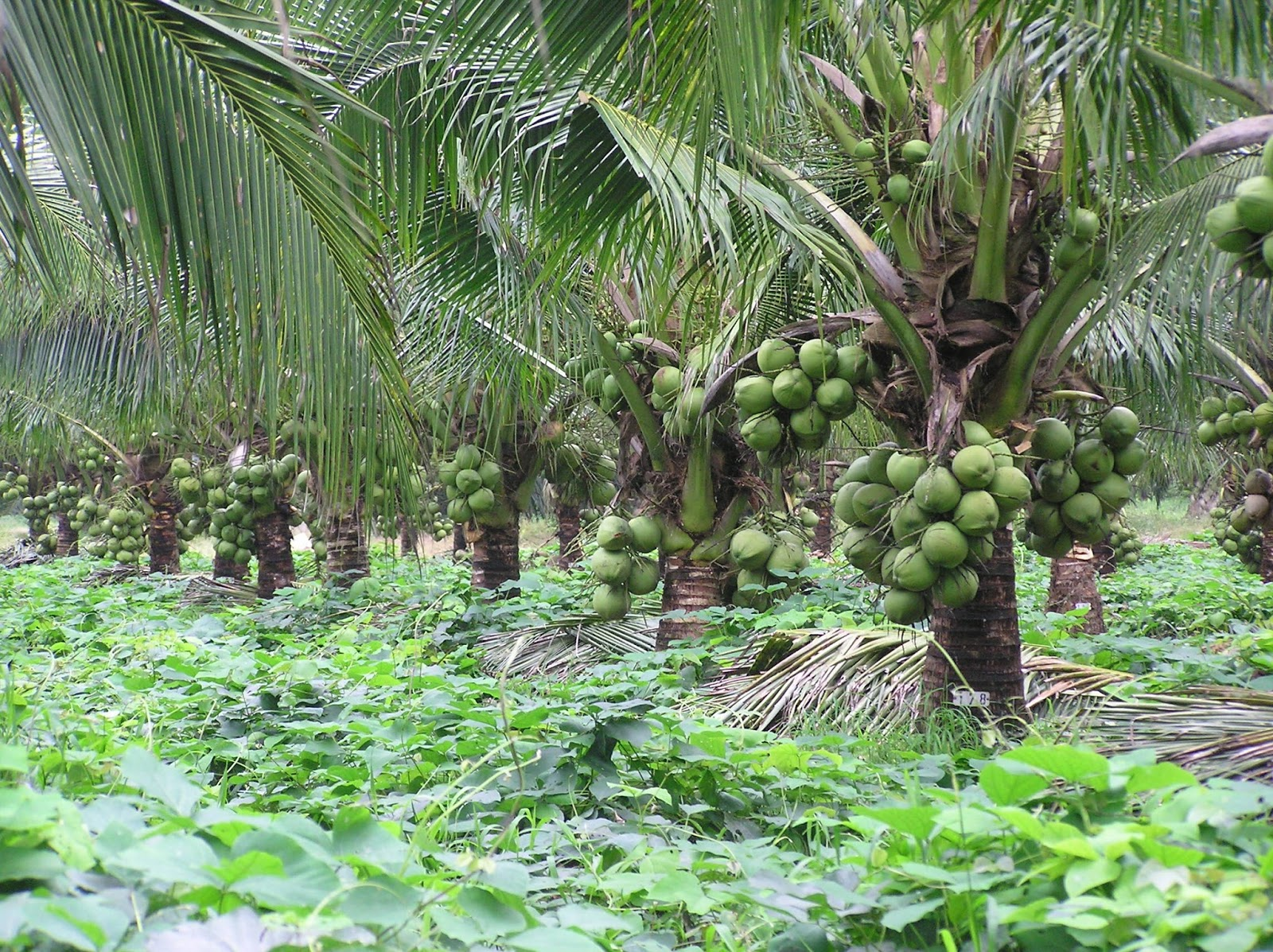 Improve coconut farming to reduce edible oil imports