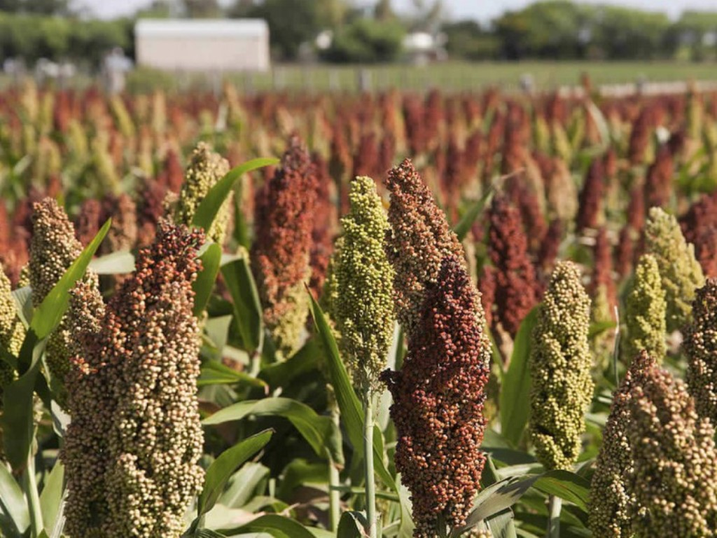 TBL project benefits over 2,000 sorghum farmers