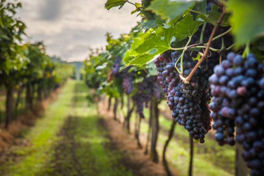 Over 16,000 tonnes of grapes produced last season