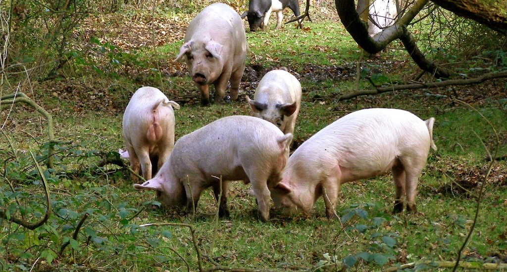 DC bans pig business in Kahama District