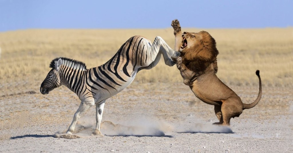 What makes a zebra to have the deadliest kick in the Savannah