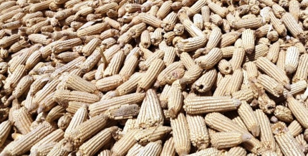 NFRA to purchase 50,000 tonnes of maize