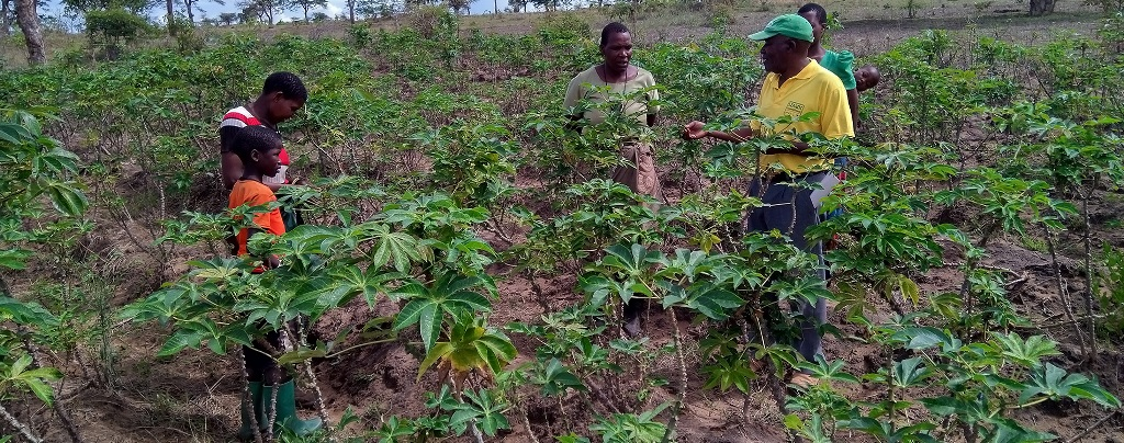 Cassava farmers smile as yields go up