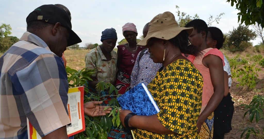 TARI pushes to eradicate cassava diseases