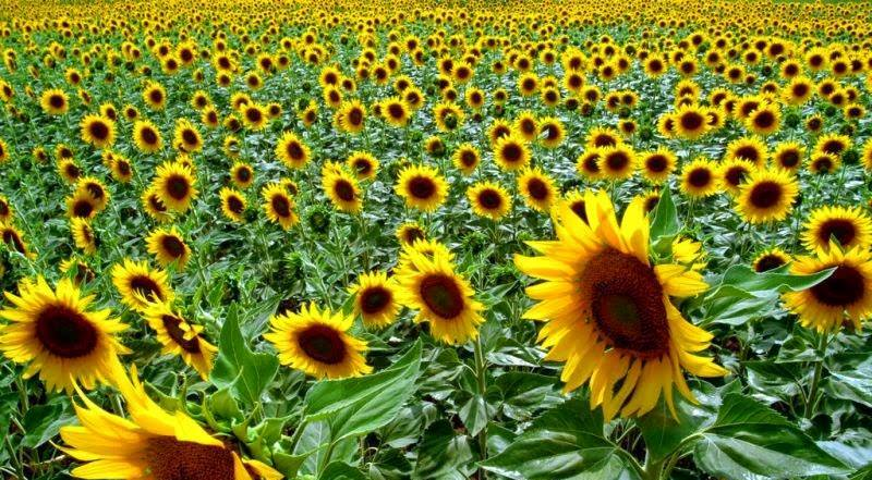 Stakeholders tout for measures to boost sunflower production