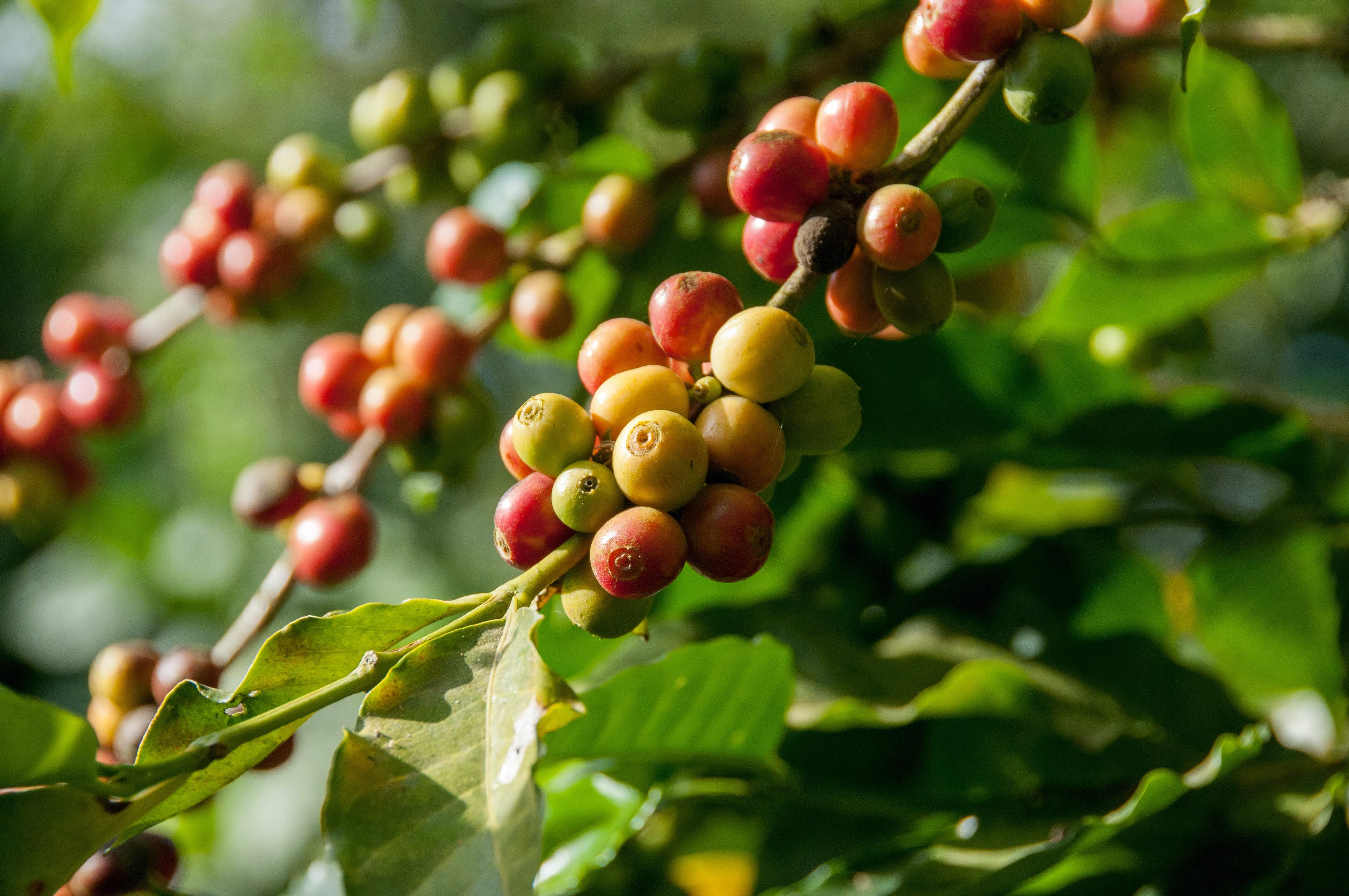 Rombo coffee farmers for processing plant