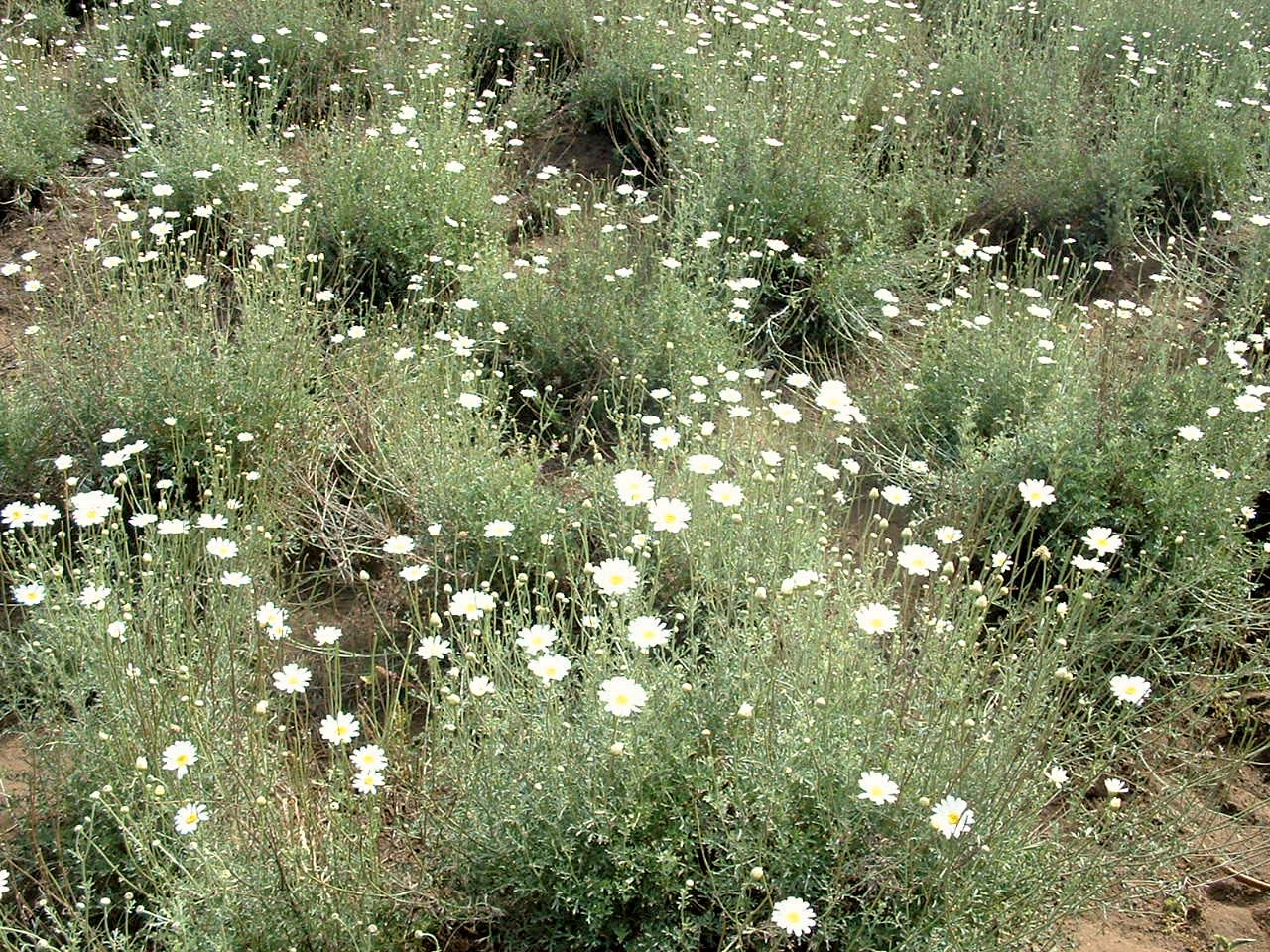Increase investment to boost pyrethrum output