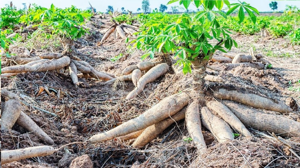 Director: Govt working on cassava demand rise