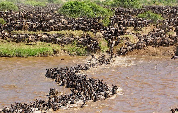 DID YOU KNOW? Marvelous great Wildebeest migration in Tanzania