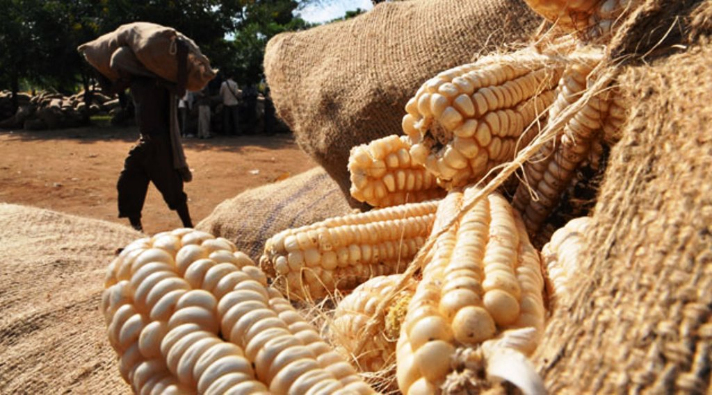 Rukwa farmers benefit from rising maize prices