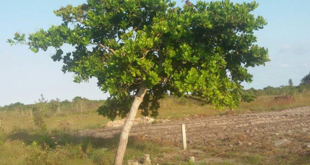 Lindi hatches plan to plant 10 million cashew trees