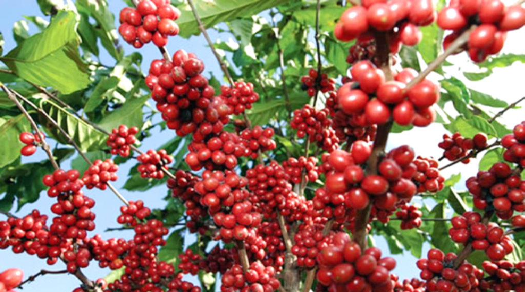 Coffee growers delighted as they pocket 286.4m/-