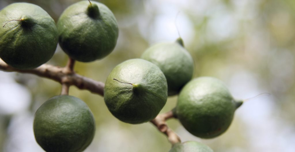 Macadamia nuts, untapped riches many farmers not aware of