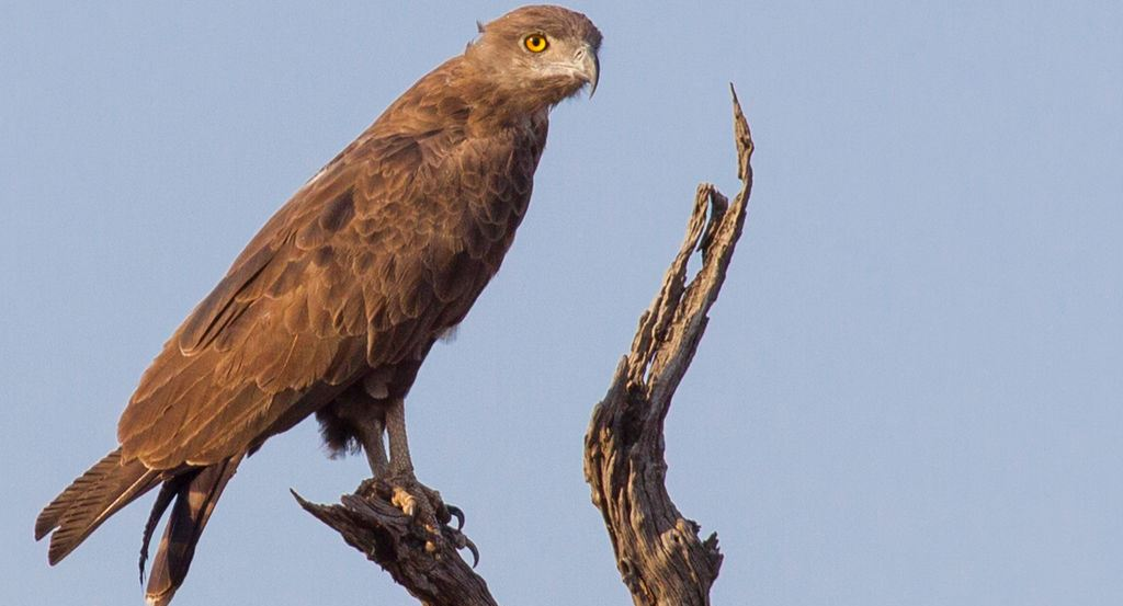 How the purification ritual of snake eagle takes place